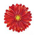 Red Gerbera Daisy by Amy Kirkpatrick