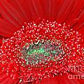 Red Gerbera Flower  by Optical Playground By MP Ray