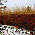 Red Gold Hedge by Susan Herber