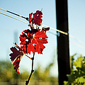 Red Grape Leaves by Charmian Vistaunet