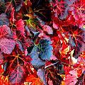 Red Grape Vine Leaves by Jeff Lowe