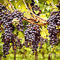 Red grapes in vineyard by Elena Elisseeva