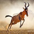 Red Hartebeest Running In Dust by Johan Swanepoel
