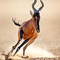 Red Hartebeest Running by Johan Swanepoel