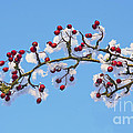 Red Haws Frosted By Snow by Liz Leyden