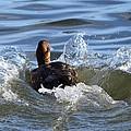 Red Head Duck Resurfaces With A Splash by Debra Martz