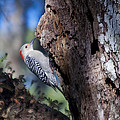 Red Headed Woodpecker by Kenneth Albin