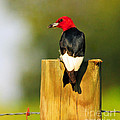 Red-headed Woodpecker by Olivia Hardwicke
