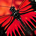 Red Heliconius Dora Butterfly by Elena Elisseeva