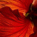 Red Hibiscus 6 by Frank Mari