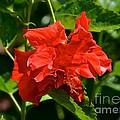Red Hibiscus by Carol  Bradley