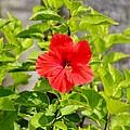 Red Hibiscus  by Cynthia Guinn