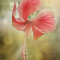 Red Hibiscus by David and Carol Kelly