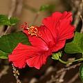Red Hibiscus Flower by Cynthia Guinn