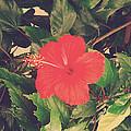 Red Hibiscus Flower by Girish J