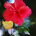 Red Hibiscus Flower by Michelle Wrighton