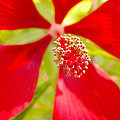Red Hibiscus Flower by Willard Killough III