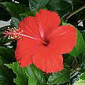Red Hibiscus by Girish J