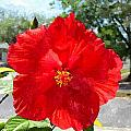 Red Hibiscus In The Neighborhood by Buzz  Coe