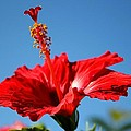 Red Hibiscus  by Kimberly Reeves