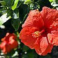 Red Hibiscus by Phillip J Gordon