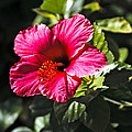 Red Hibiscus by Robert Bales