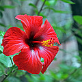 Red Hibiscus by Tony Murtagh