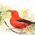 I'iwi - Hawaiian Red Honeycreeper by Claudia Hafner