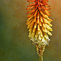 Red Hot Poker by Nikolyn McDonald