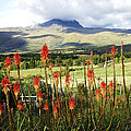 Red Hot Pokers Of The Andes by Kurt Van Wagner
