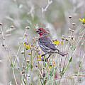Red House Finch In Flowers by Robert Frederick