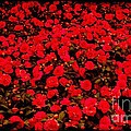 Red Impatiens Flowers by Barbara Griffin