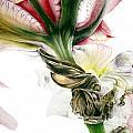 Red Iris by Marie Burke