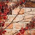 Red Ivy Leaves Creeper by Arletta Cwalina
