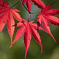 Red Japanese Maple Leafs by Chad Davis