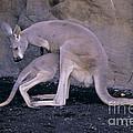 Red Kangaroo. Australia by Art Wolfe