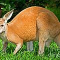 Red Kangaroo by Millard H. Sharp