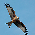 Red Kite In Flight by Gary Eason