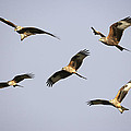 Red Kites Montage by Premierlight Images