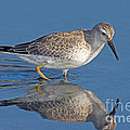 Red Knot Calidris Canutus by Anthony Mercieca