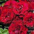 Red Lavaglut Lavaglow Floribunda Roses by Jason O Watson