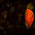 Red Leaf 2 by Jay Stockhaus