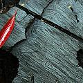 Red Leaf On Cut Wood by Jennifer Bright