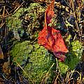 Red Leaf On Moss by Douglas Barnett