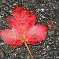 Red Leaf On Pavement by Barbara McDevitt