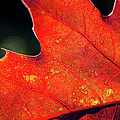 Red Leaf Rising by Joe Martin A New Hampshire Portrait Photographer
