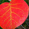 Red Leaf With Yellow Veins by Laurel Talabere