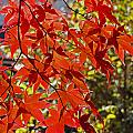 Red Leaves 1 by Robert Mitchell