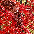 Red Leaves 3 by Robert Mitchell
