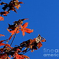 Red Leaves Blue Sky by Kenny Glotfelty